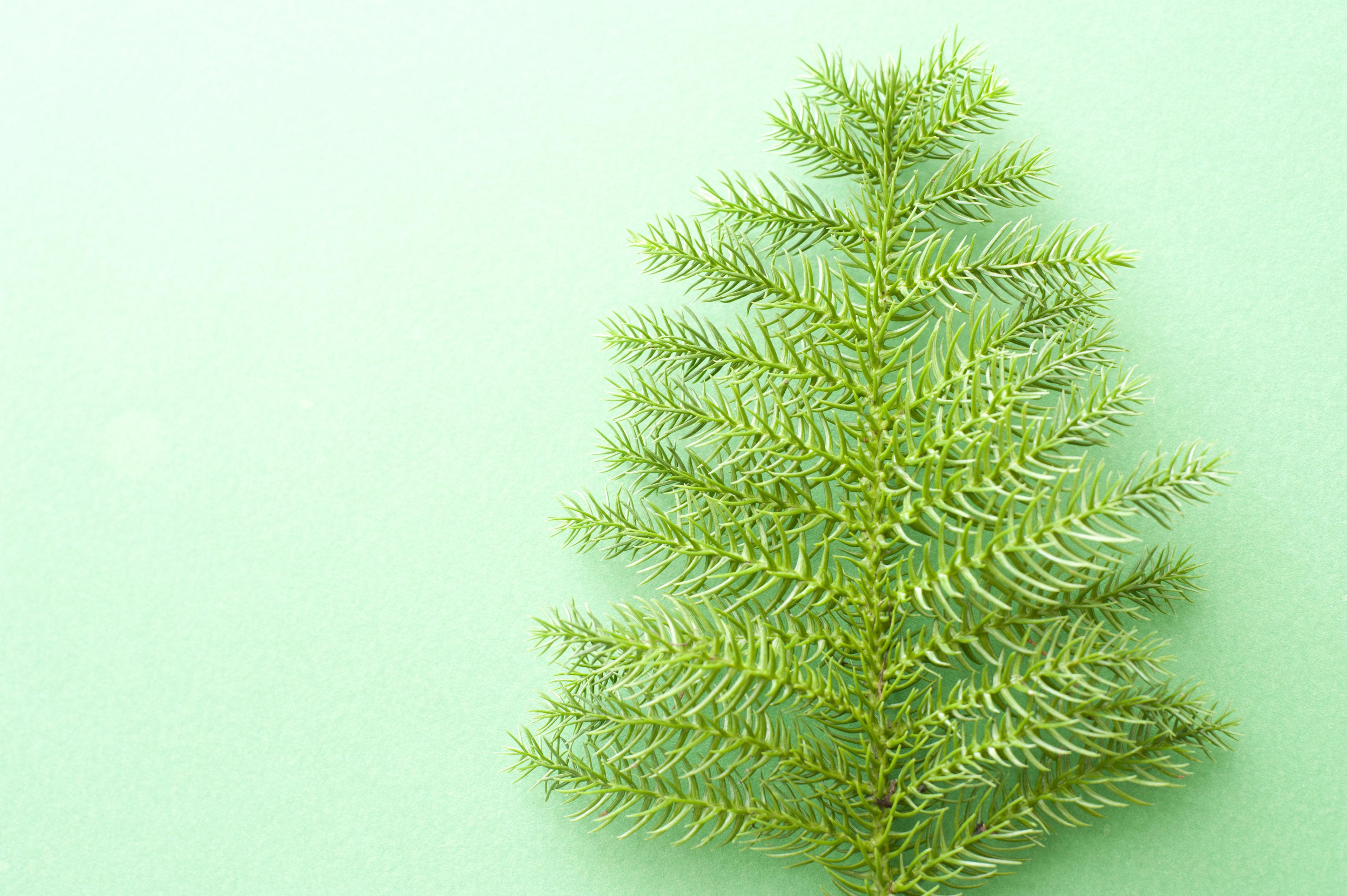 Image Of Christmas Fern Resembling A Tree Freebie Photography