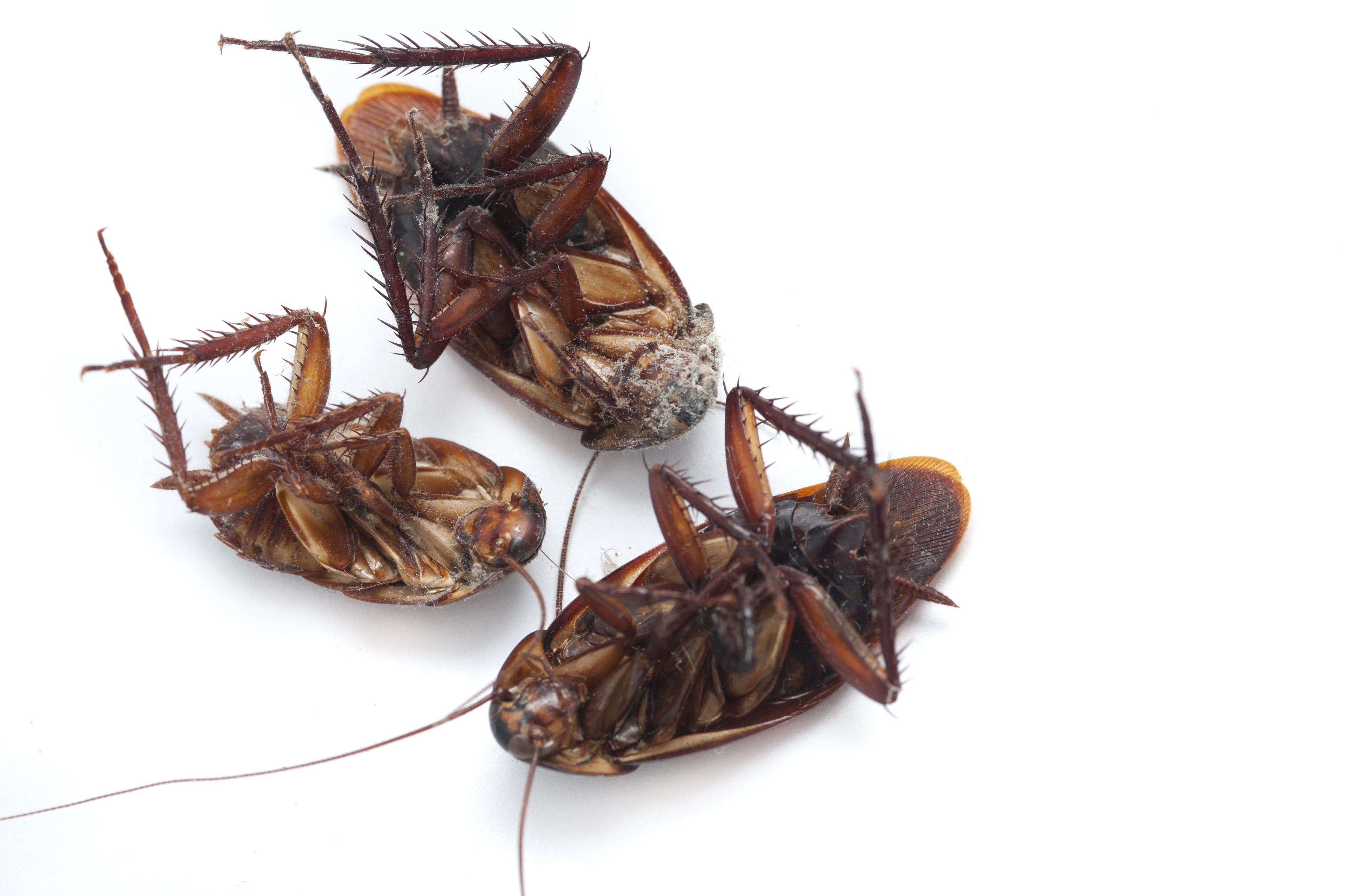 Three dead cockroaches lying upside down on a white background with copyspace, a common household pest