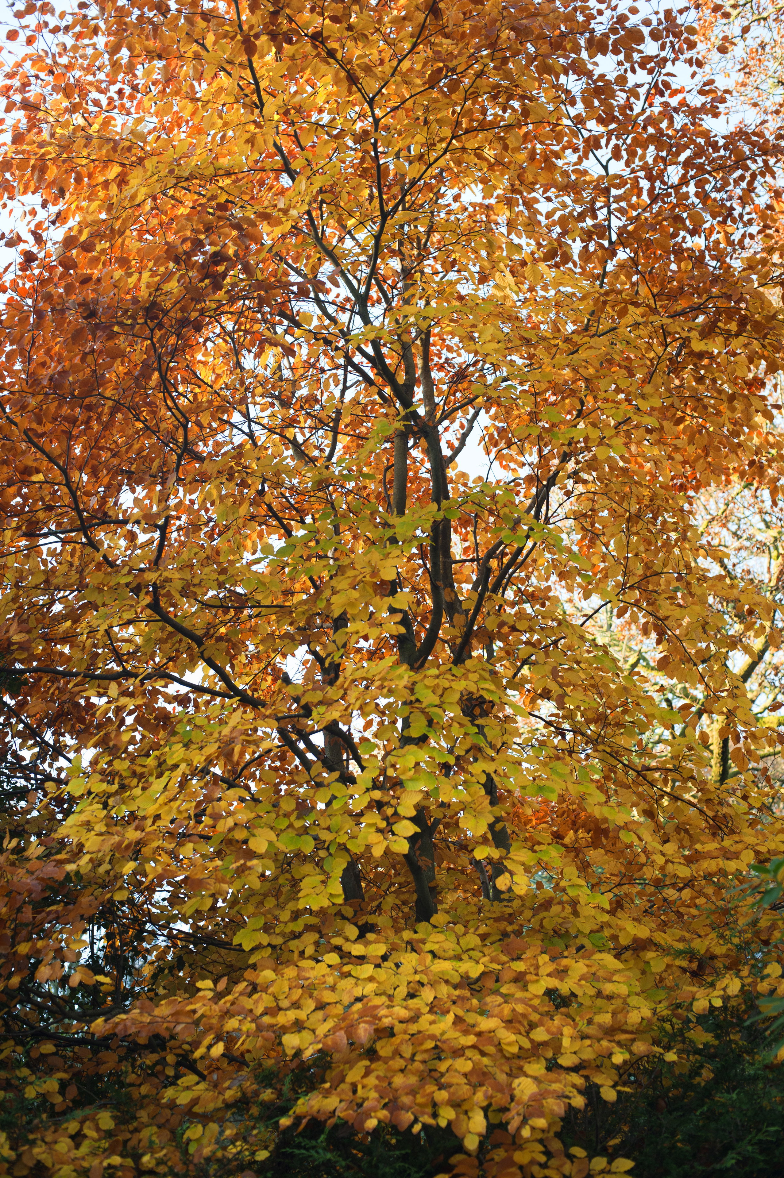 Colorful yellow autumn or fall foliage on woodland trees marking the changing of the seasons