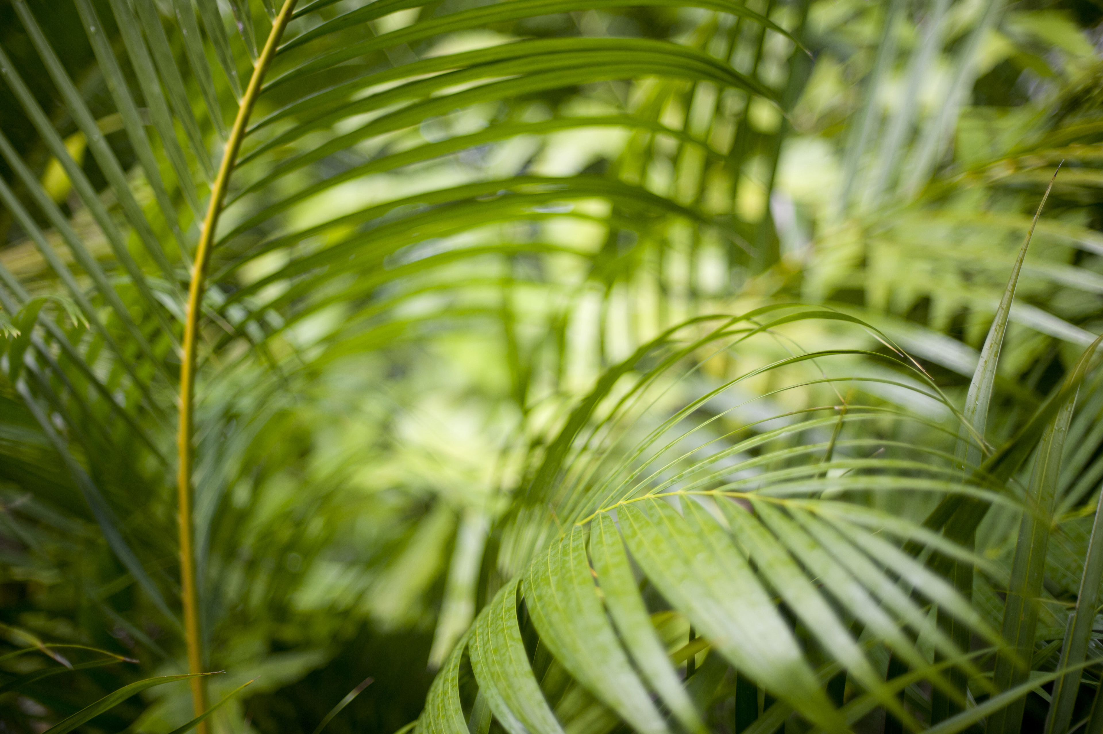 Greens fronds of a cane palm growing in a garden or tropical rainforest, close up full frame background view
