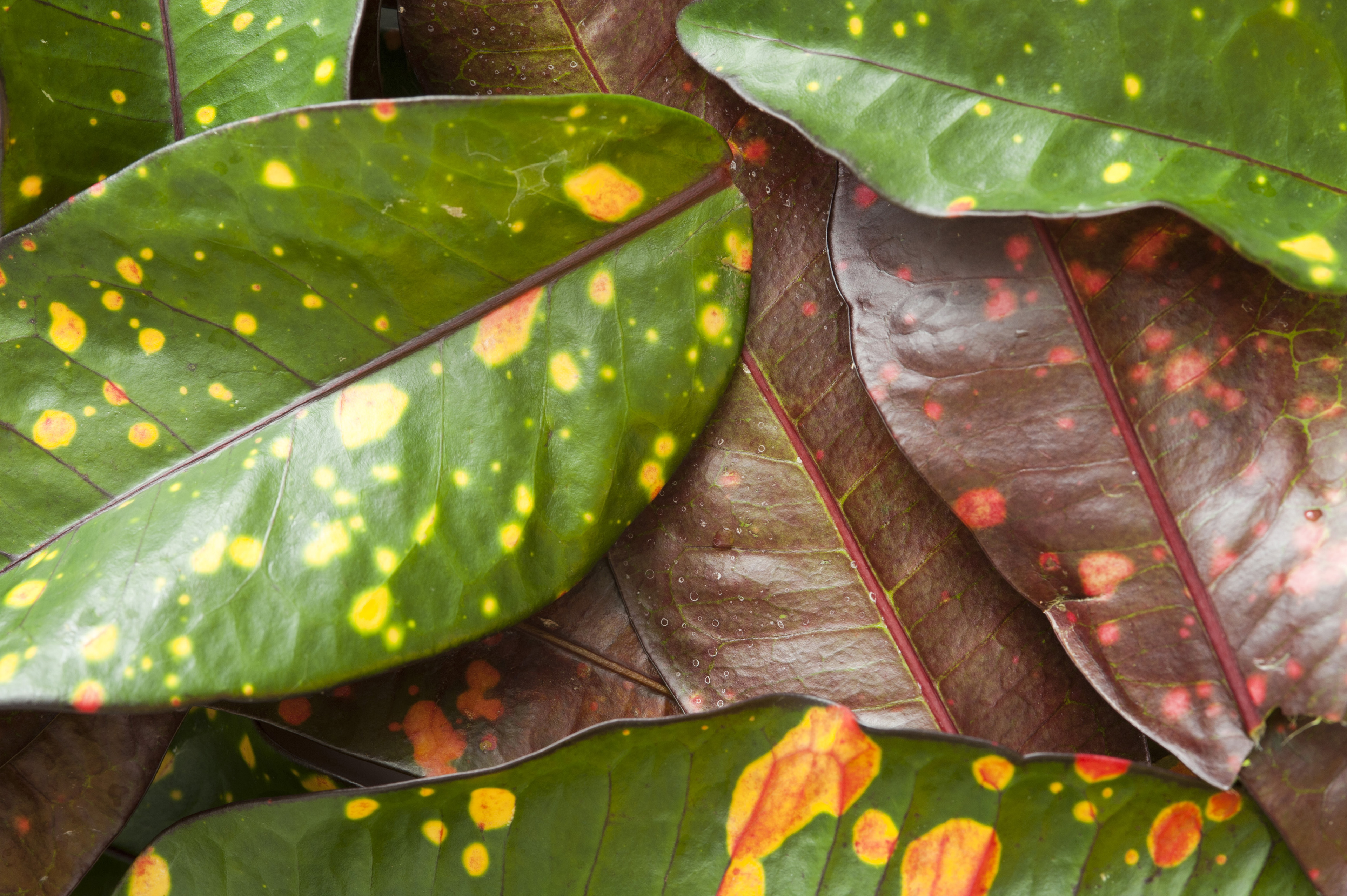 Colorful variegated leaves of the Croton plant with their natural green and yellow patterns, a popular garden plant for their ornamental leaves