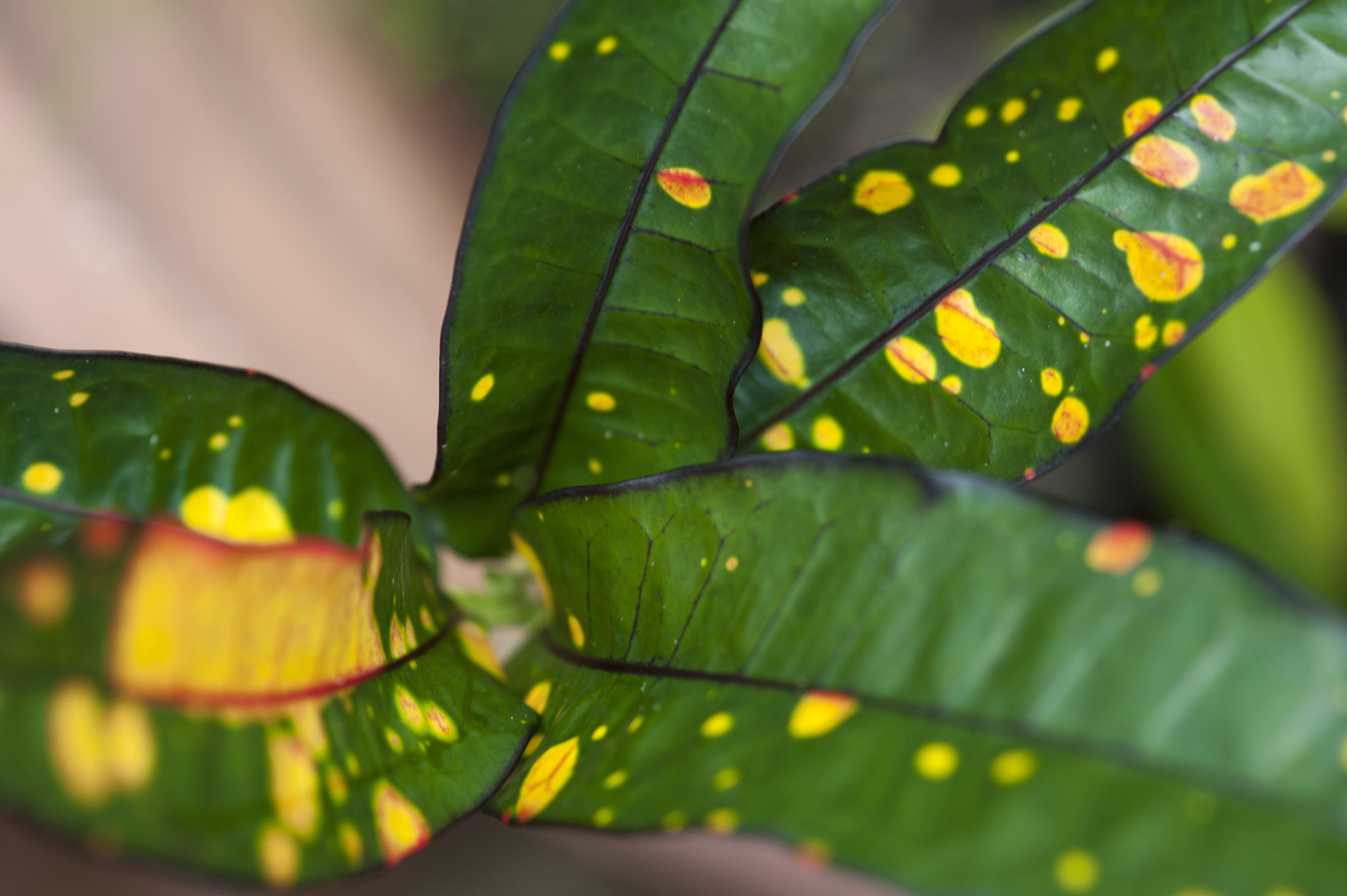 Pretty yellow and green variegated Croton leaf forming a natural abstract background pattern cultivated as an ornamental foliage plant for the garden and house