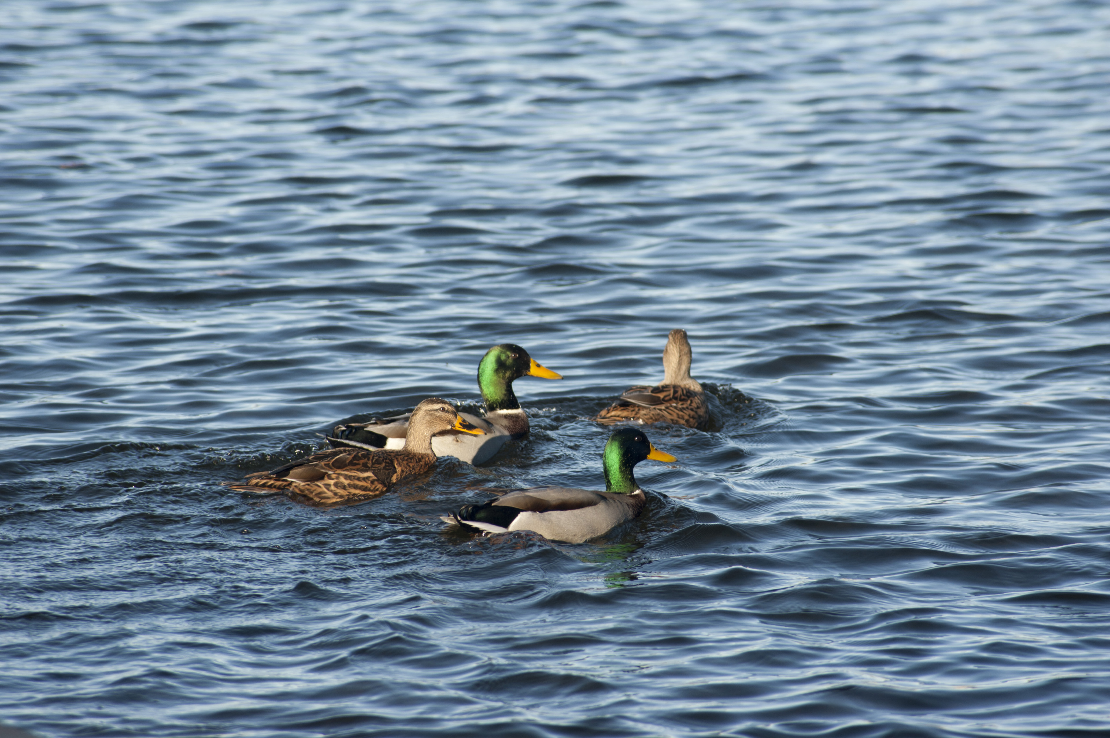 Two pairs of swimming Mallard ducks with the distinctive green head plumage of the male, with copyspace
