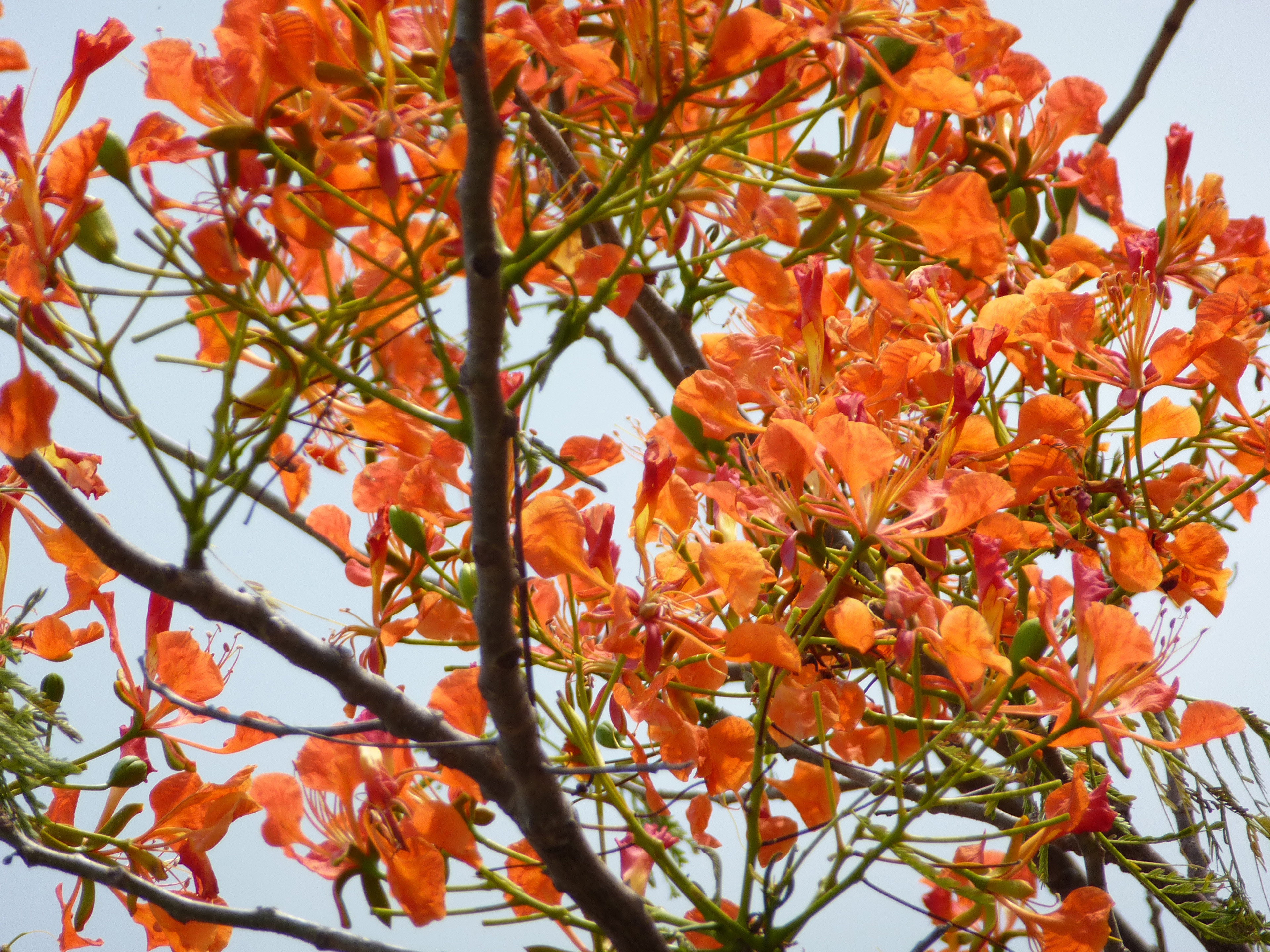 Colorful orange flowers of the Flame tree, Royal poinciana, a popular ornamental tree cultivated in gardens for their showy flowers