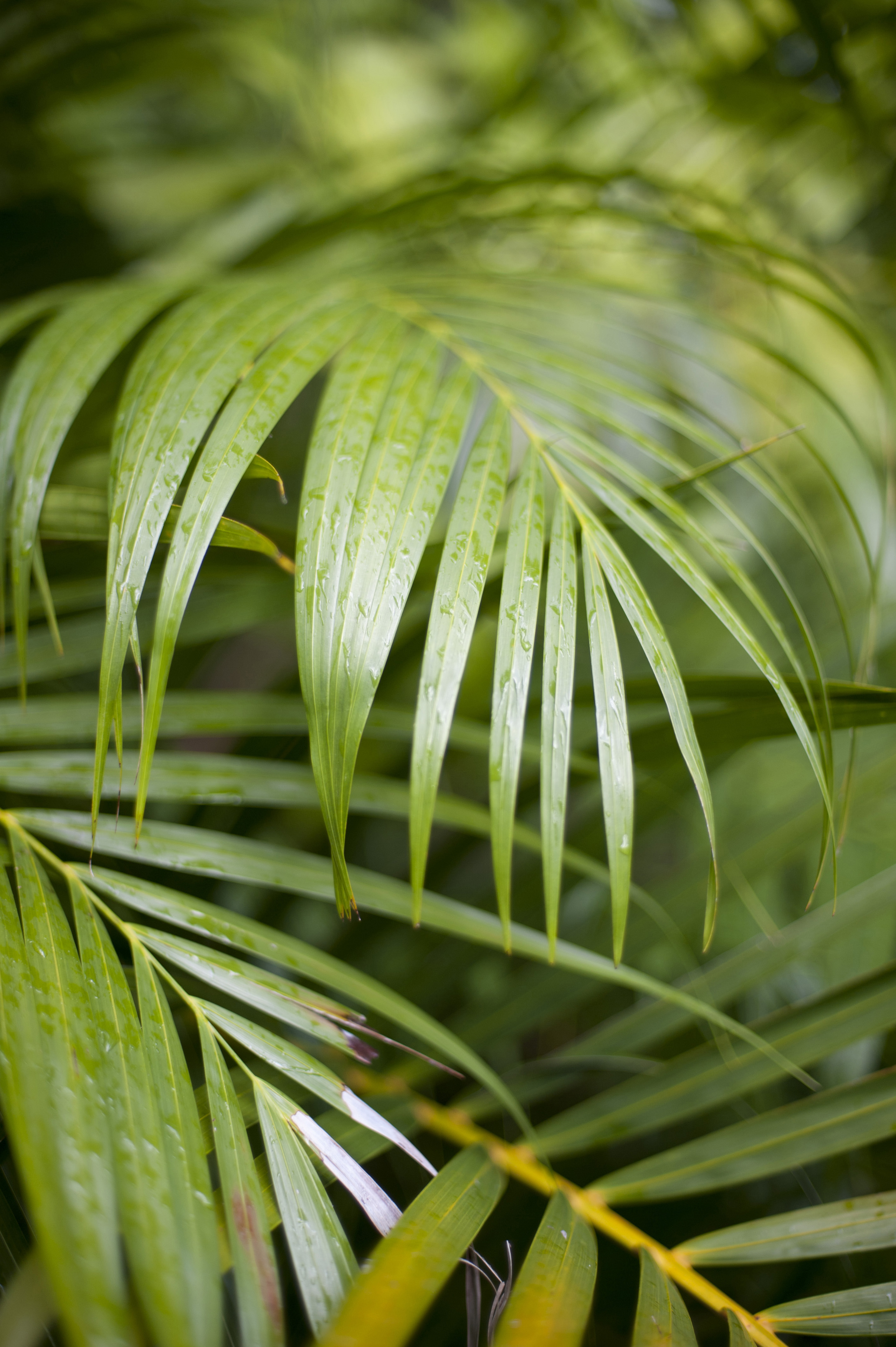 Green leaves of golden cane palm grown as ornamental plant in gardens or tropical and subtropical climates, close-up