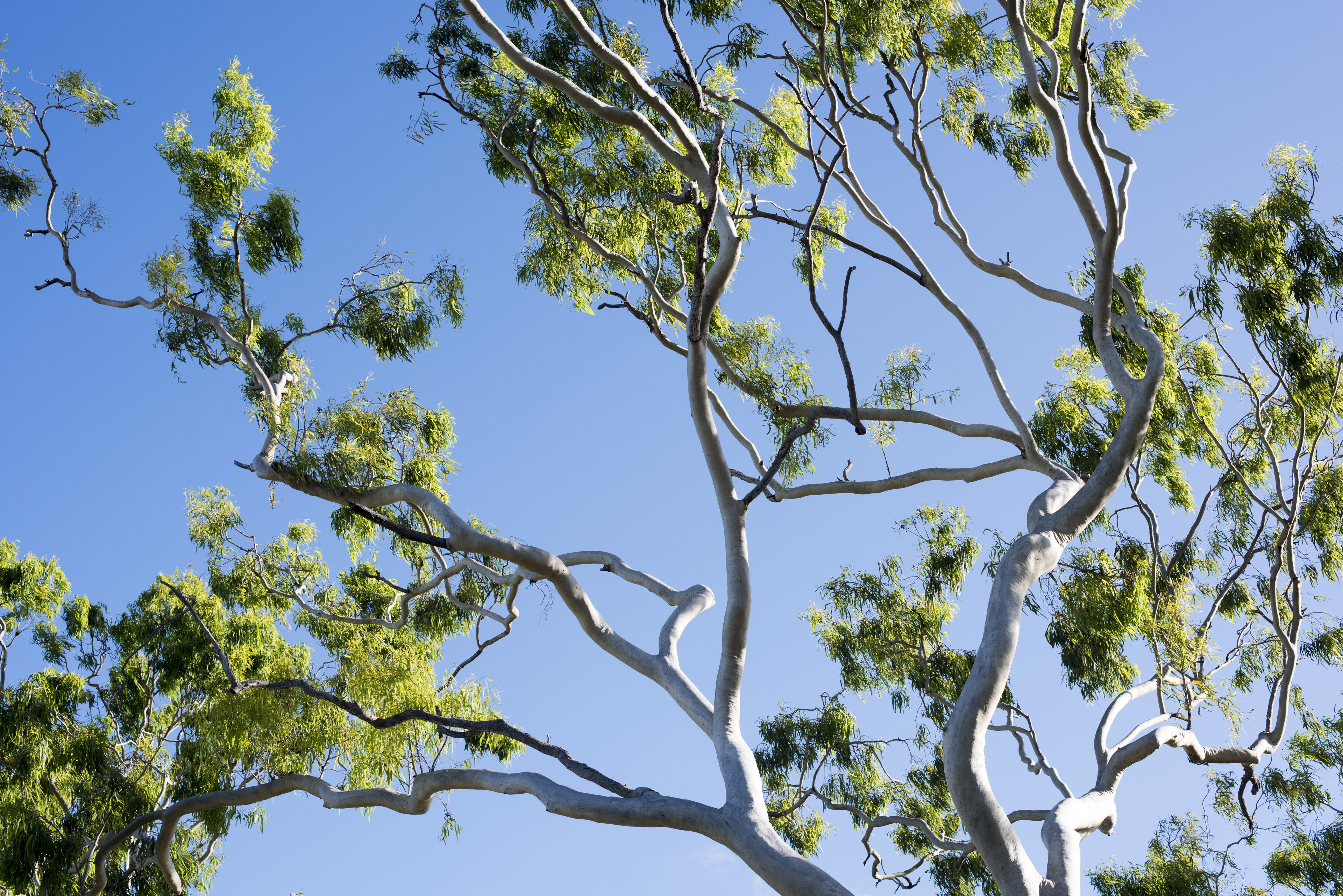 The vibrant green leaves and branches of a gum tree sway in the wind under a clear blue sky.