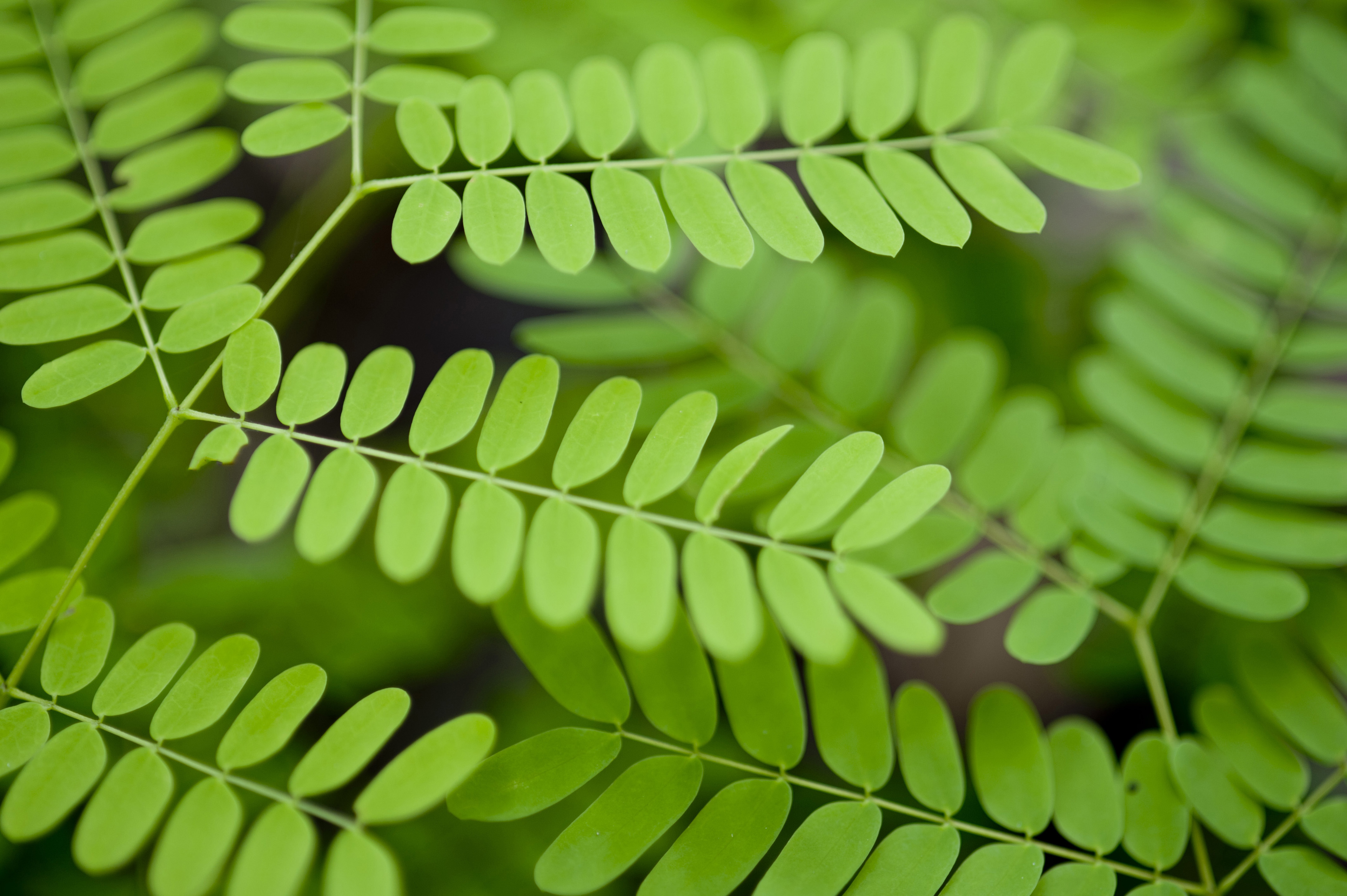 a background of delicate green leaves on a fern type plant