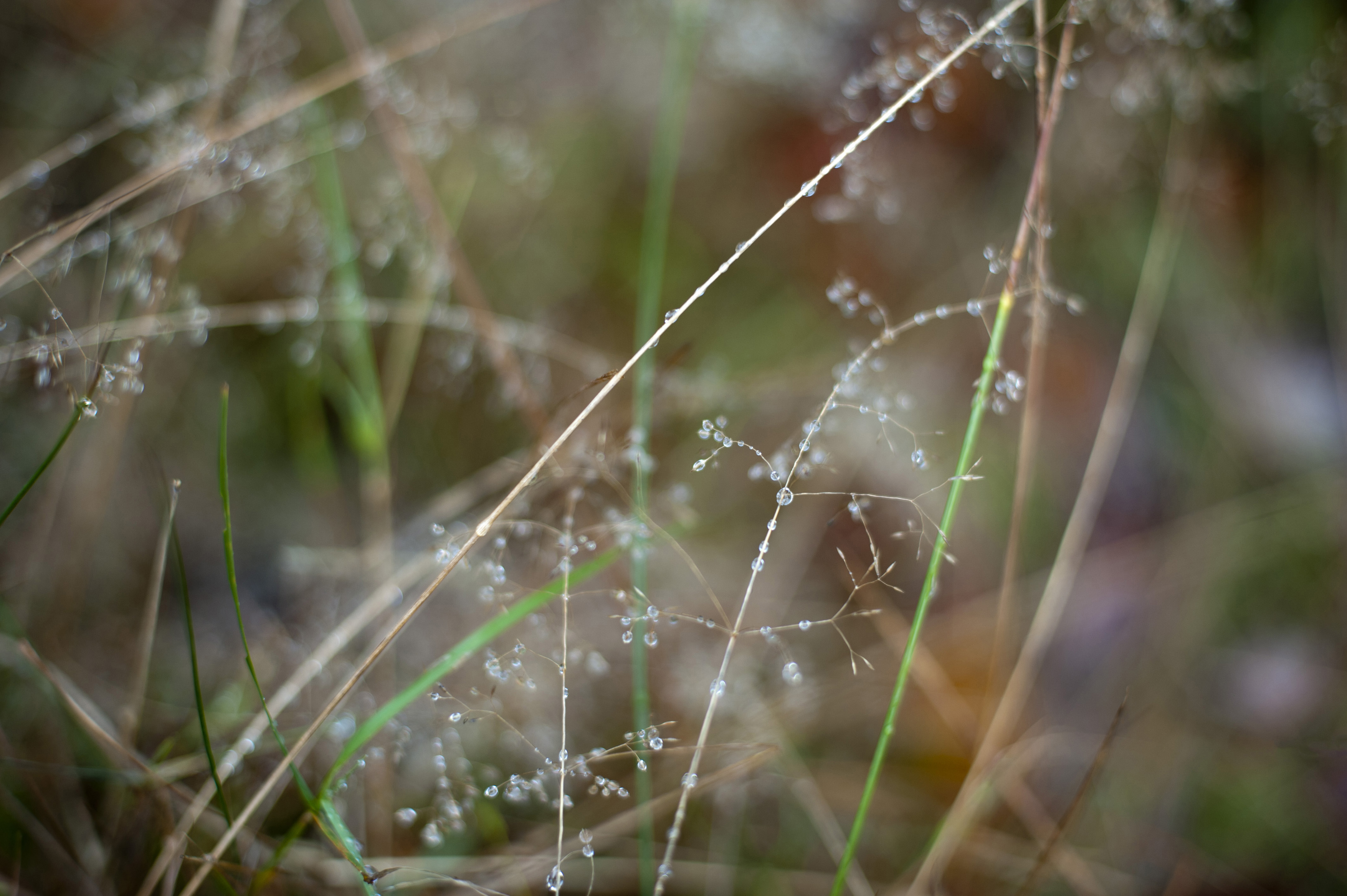 delicate moring dew drops on grasses growing in a meadow