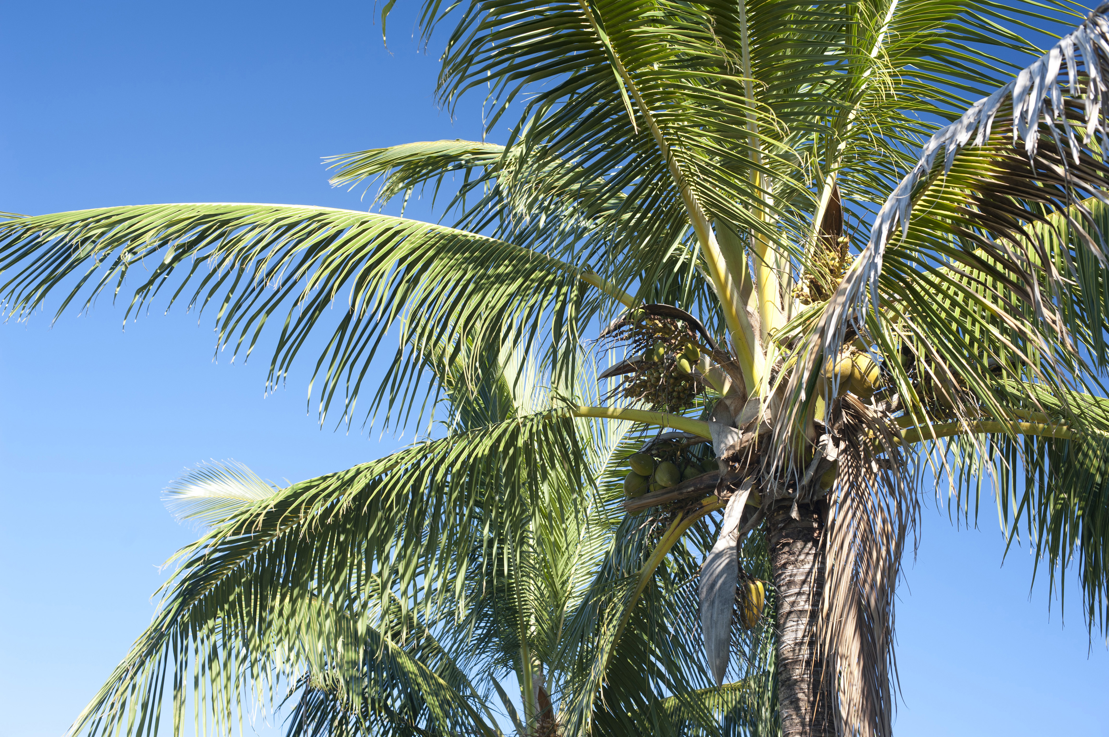 Crown of a coconut palm with its green fronds spreading out above ripening fruit against a clear sunny blue sky, symbolic of tropical summer vacations and travel