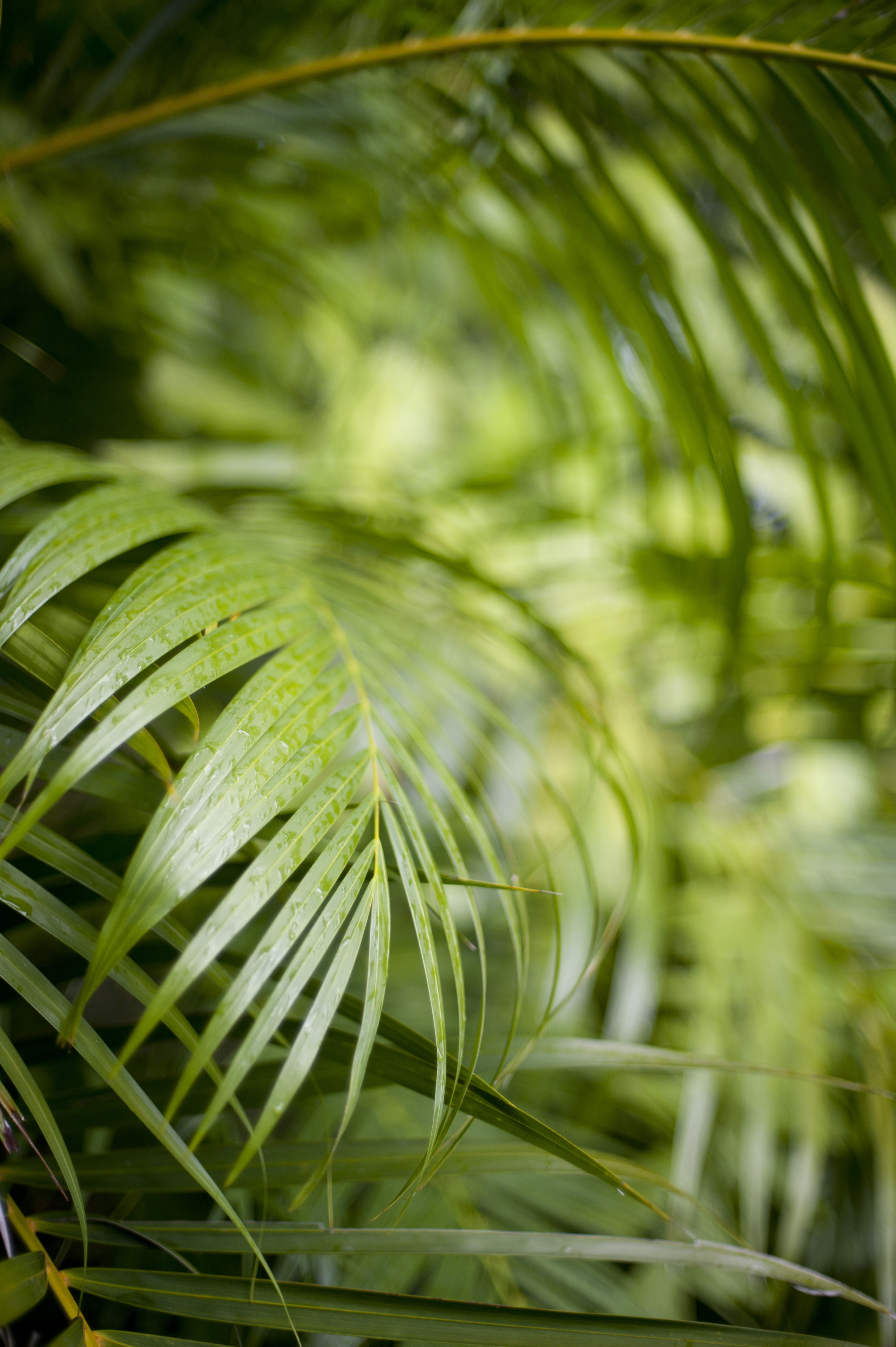 Fresh green cane palm frond cultivated for its foliage in many tropical gardens in a close up botanical background