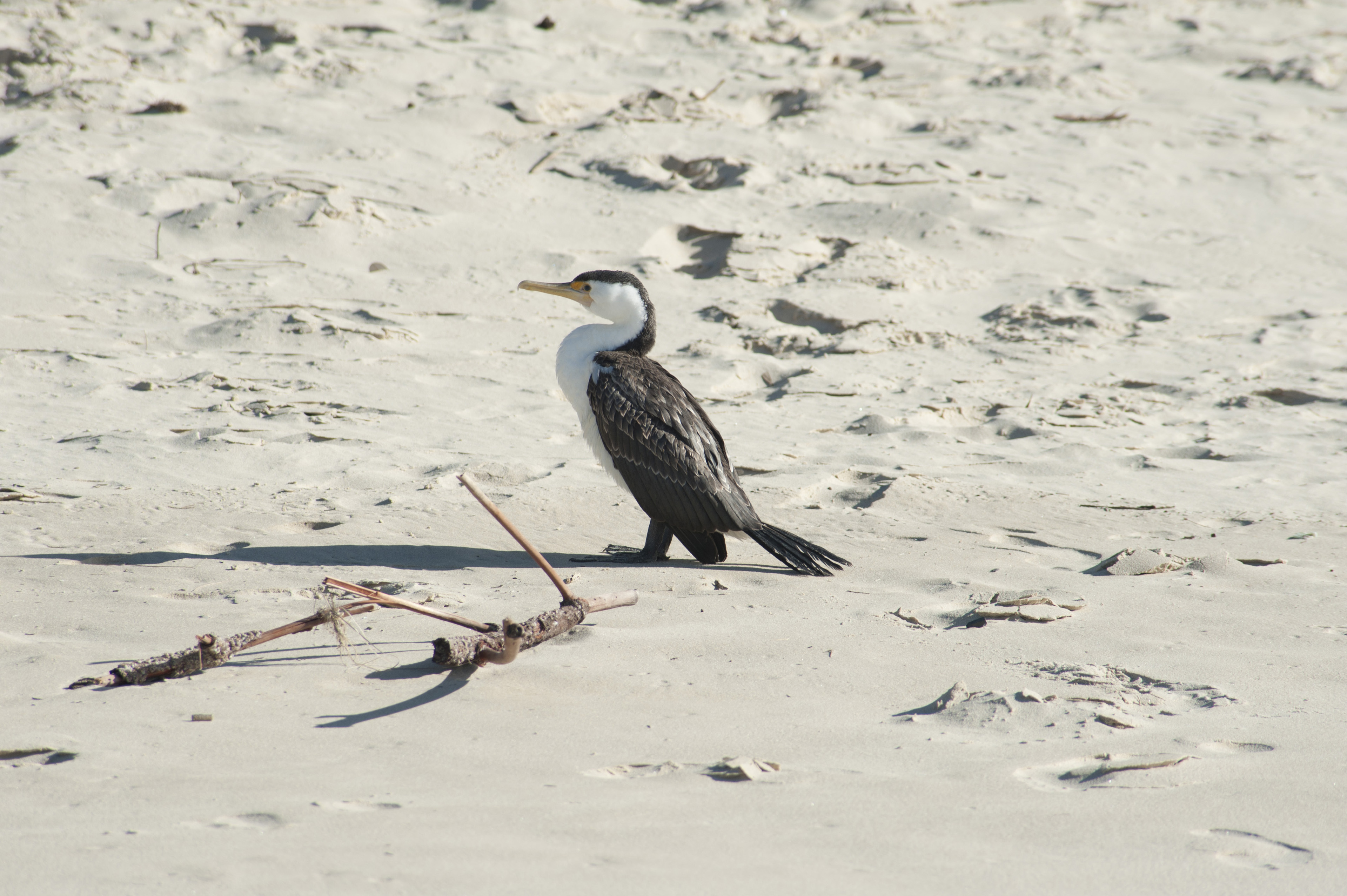 Alert solitary adult cormorant standing on a sandy beach in the sunshine, side view