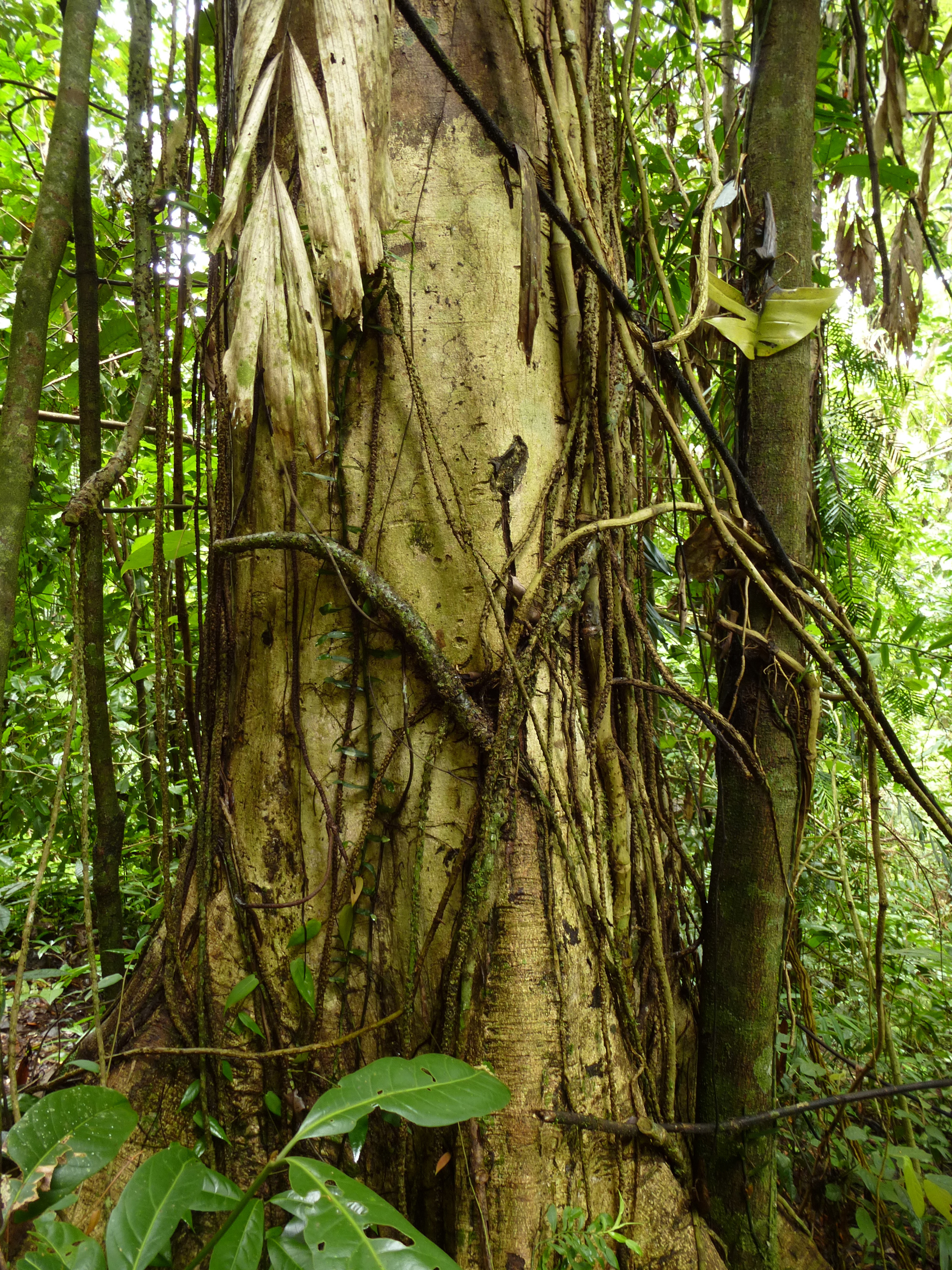 Close Up of Fig Tree Trunk Covered with Aerial Roots or Vines in Lush Forest