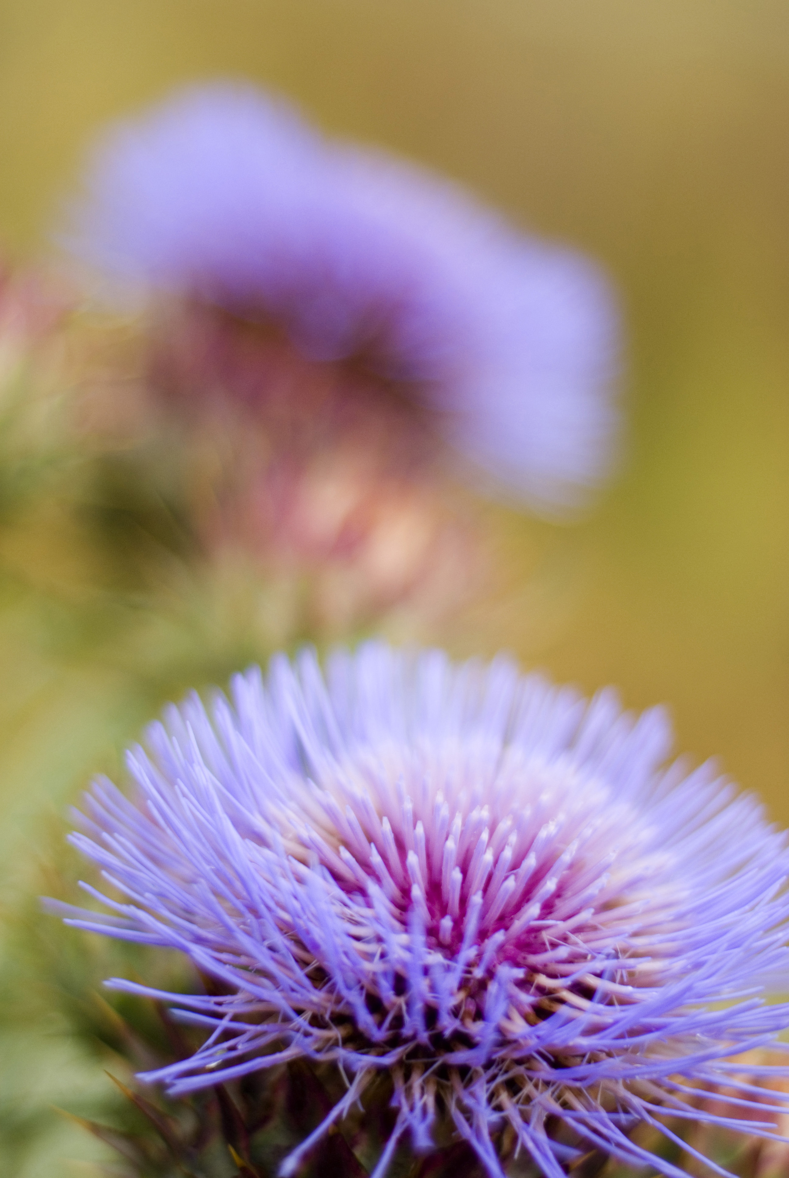 Close up of the fresh purple flower of the milk thistle considered an invasive weed and the symbol of Scotland