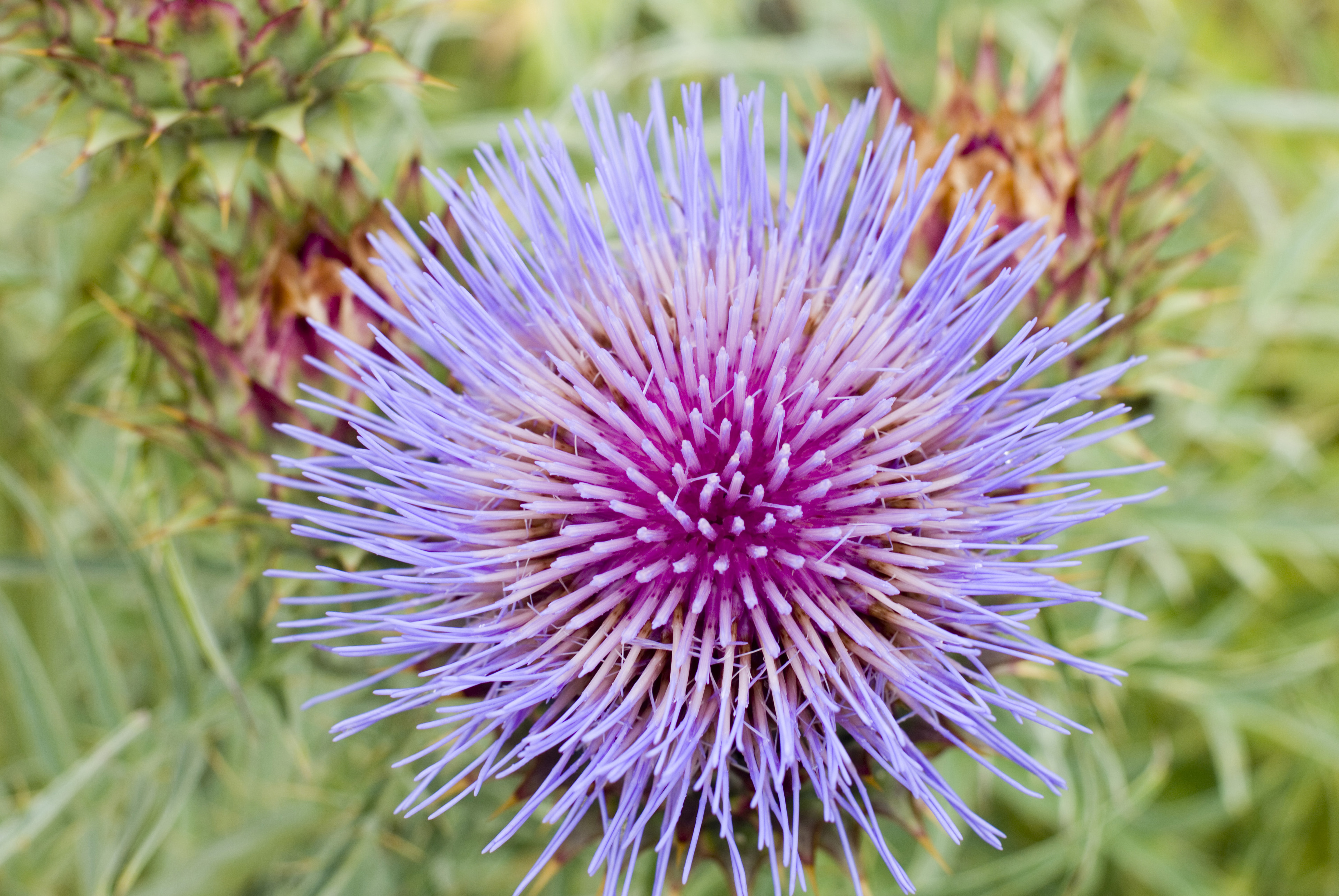 Lilac round milk thistle flower head grown surrounded by green vegetation in summer, close-up