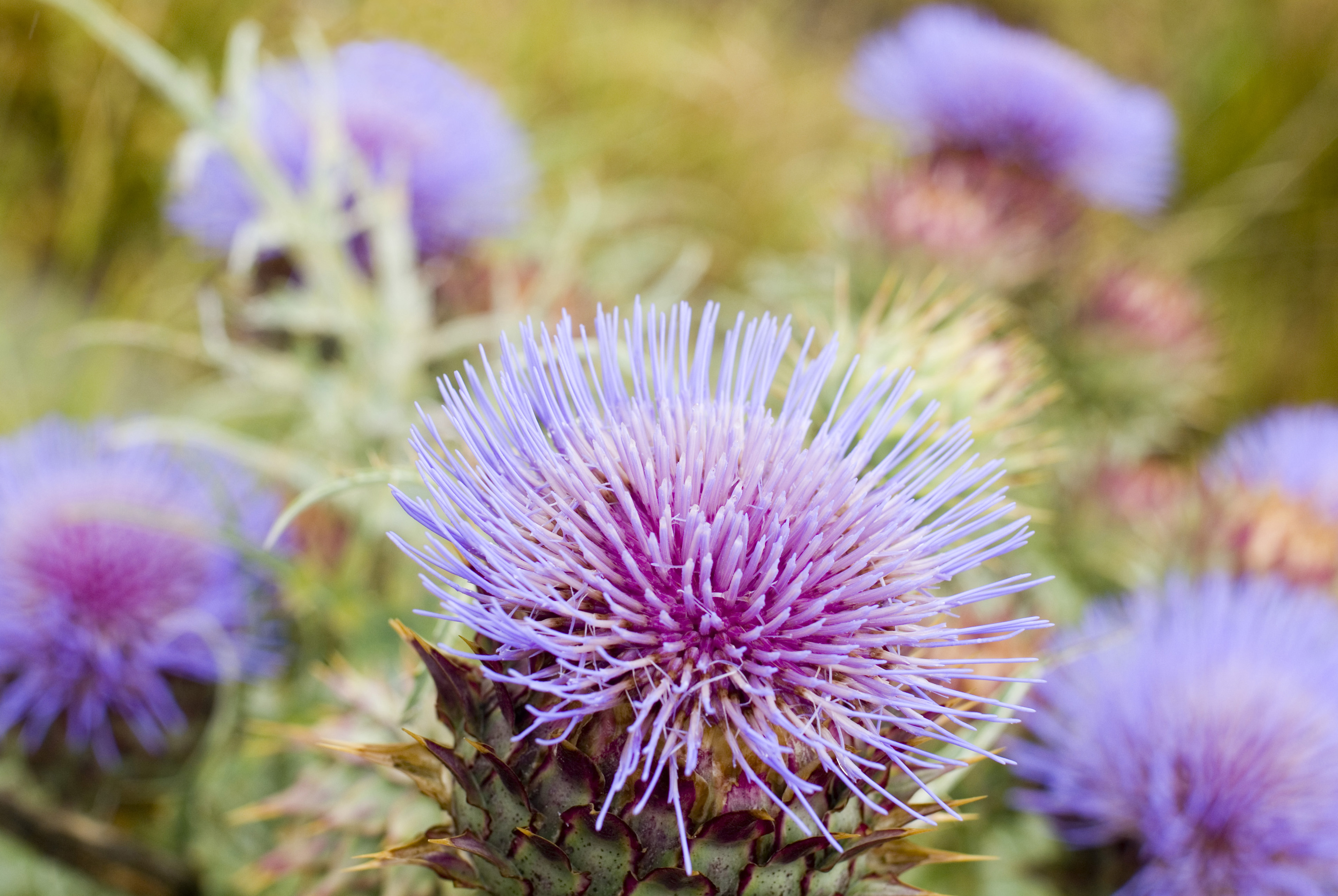 Flowering purple milk thistles growing outdoors in a meadow with close up focus to a single bloom in the foreground, symbolic of Scotland