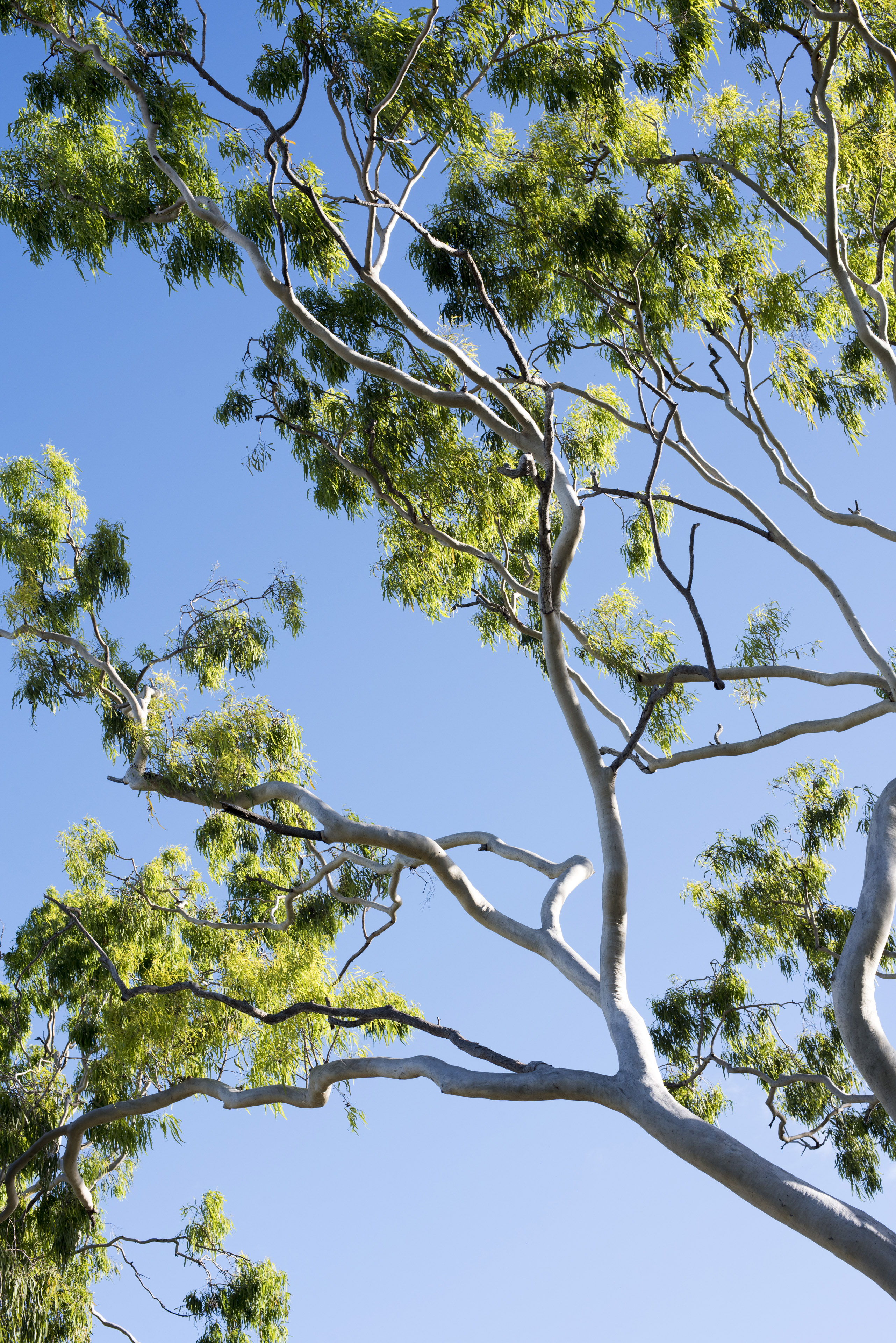Branches of a tree with fresh green spring or summer leaves against a blue sky viewed from below on a sunny day