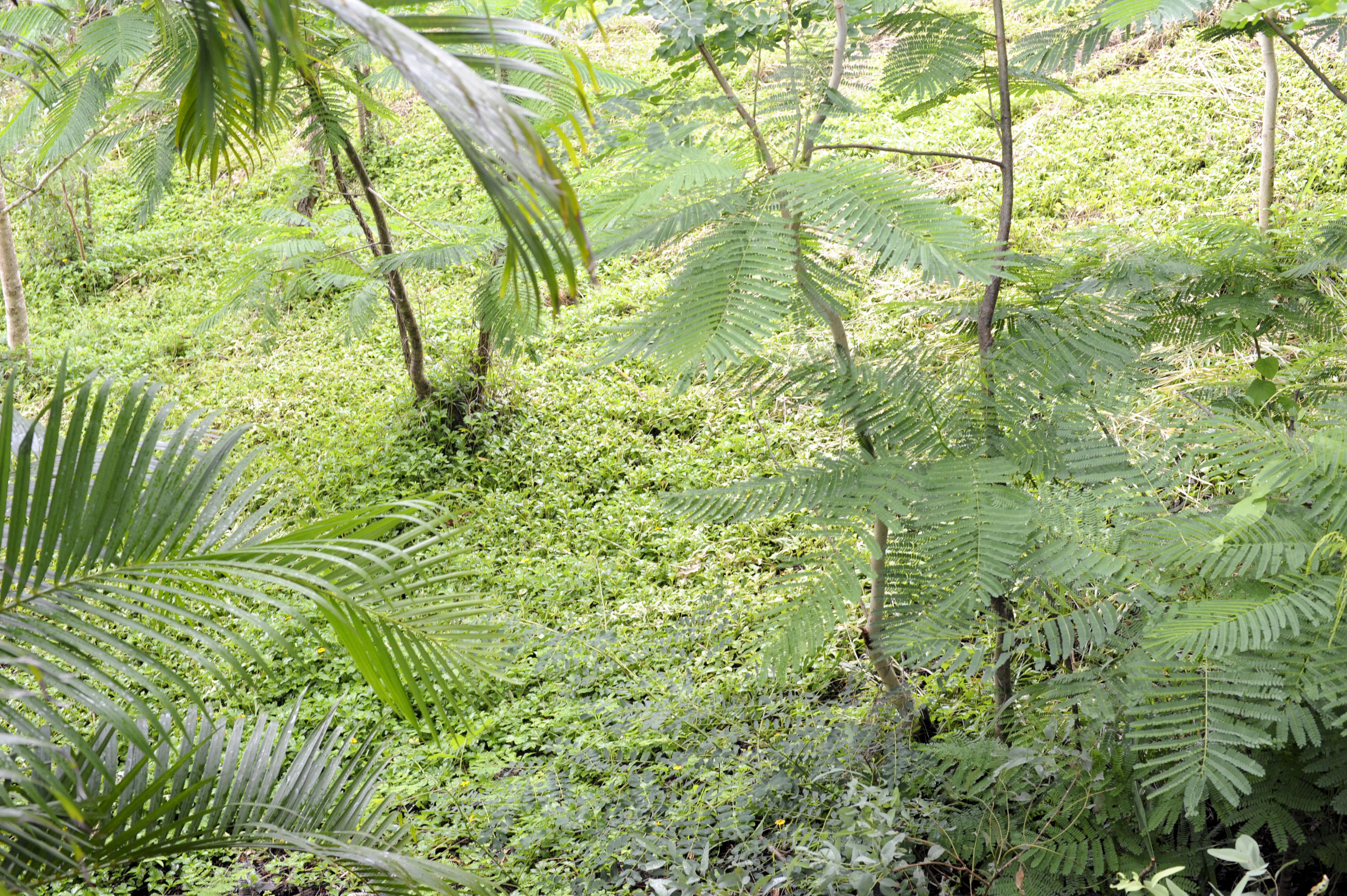 High Angle View of Tropical Scene with Young Palm Trees and Lush Green Ground Cover