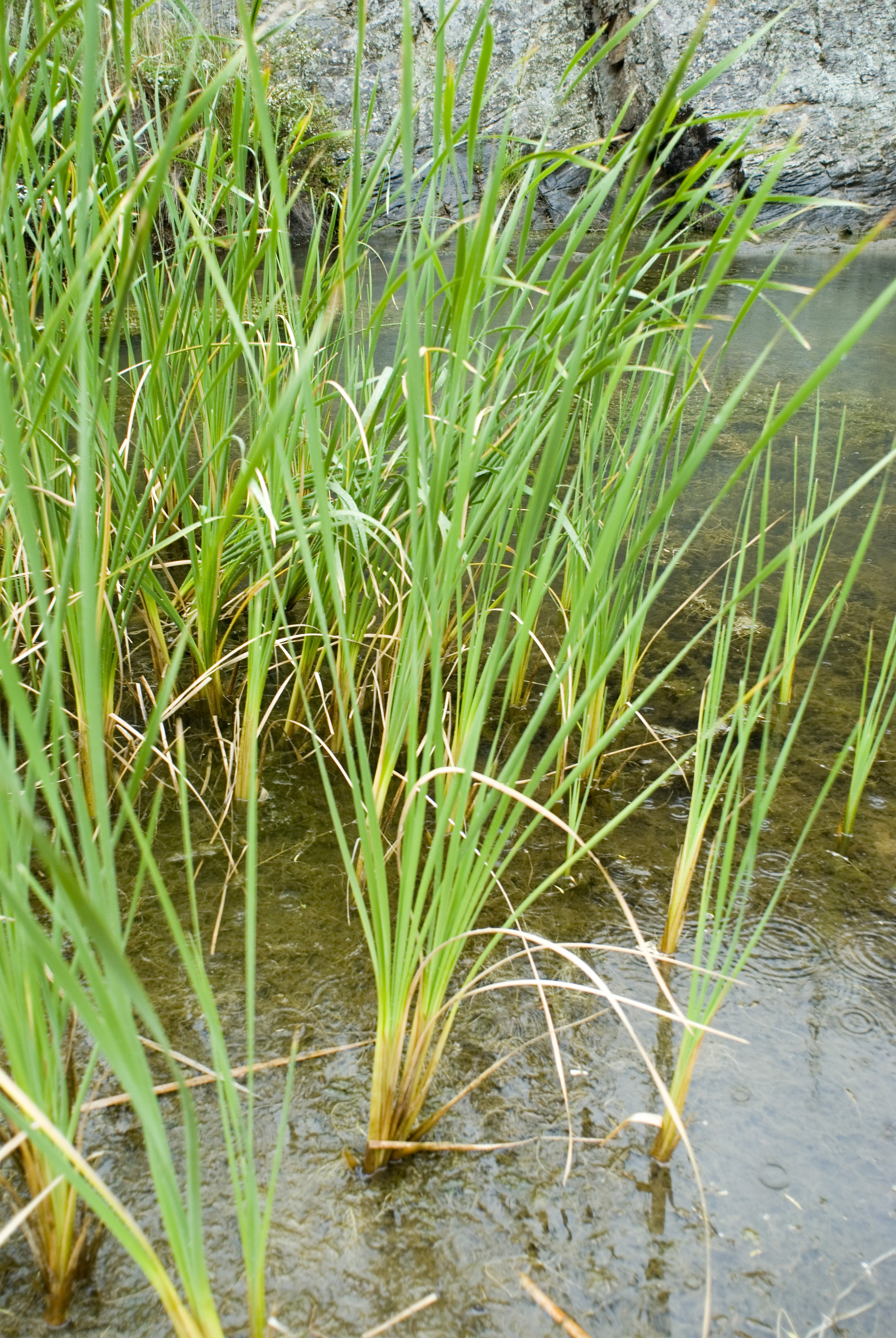Fresh green clumps of wetland grasses growing in a shallow pool of water in a botanical background