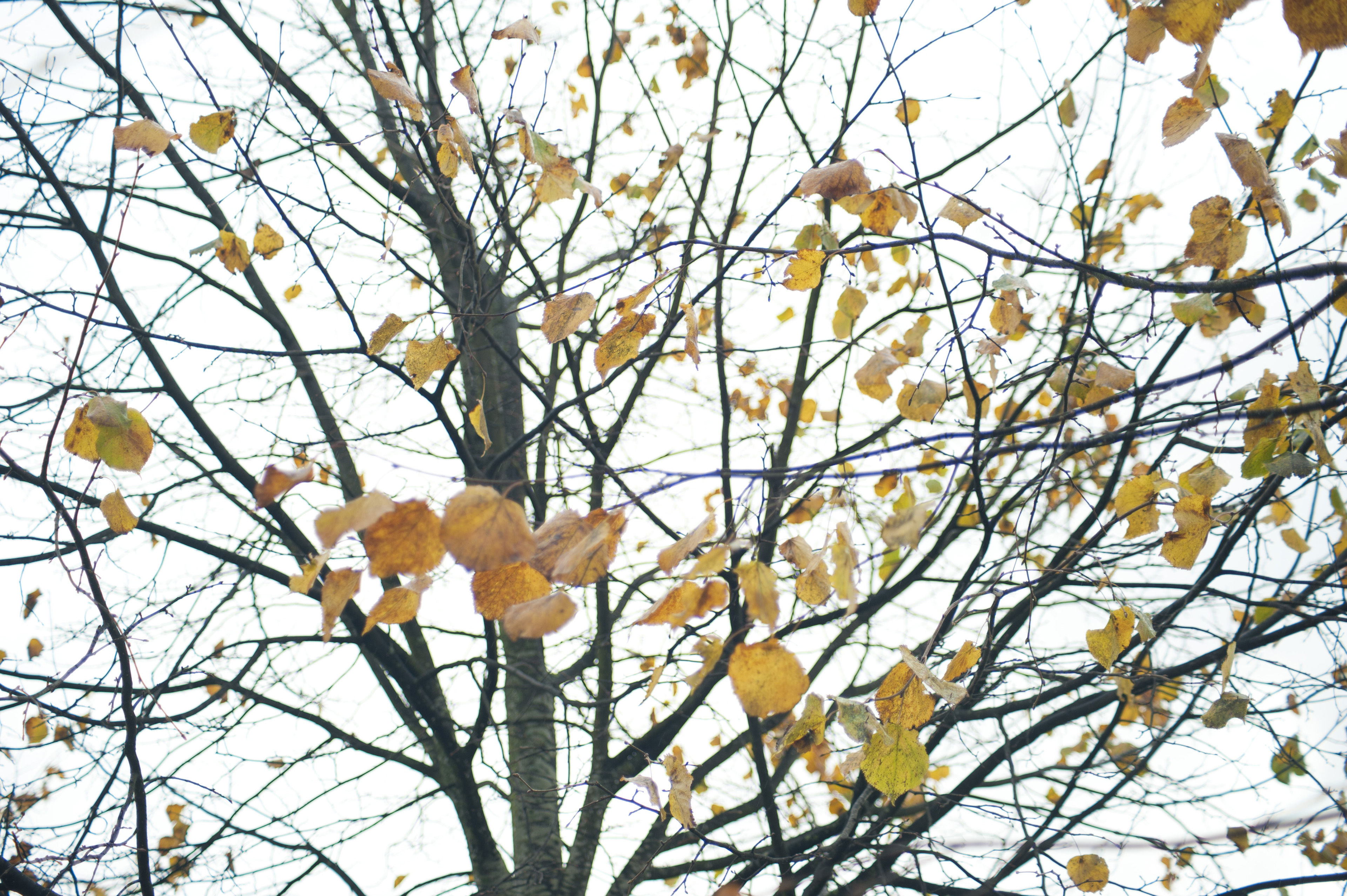 Bare branches of a deciduous tree with random yellow withered leaves, in a cold day of winter