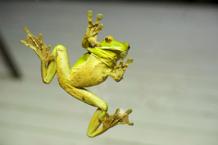 image of green frog stuck to glass